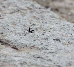 Photo: Day 153 - Giant Ant