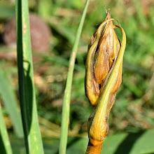 Photo: Asphodelus microcarpus, asfodelo mediterraneo, asphodel