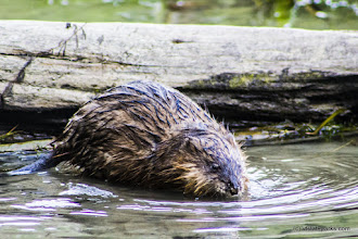 Photo: A wet muskrat swimming at Niquette Bay State Park by Kristen Jensen