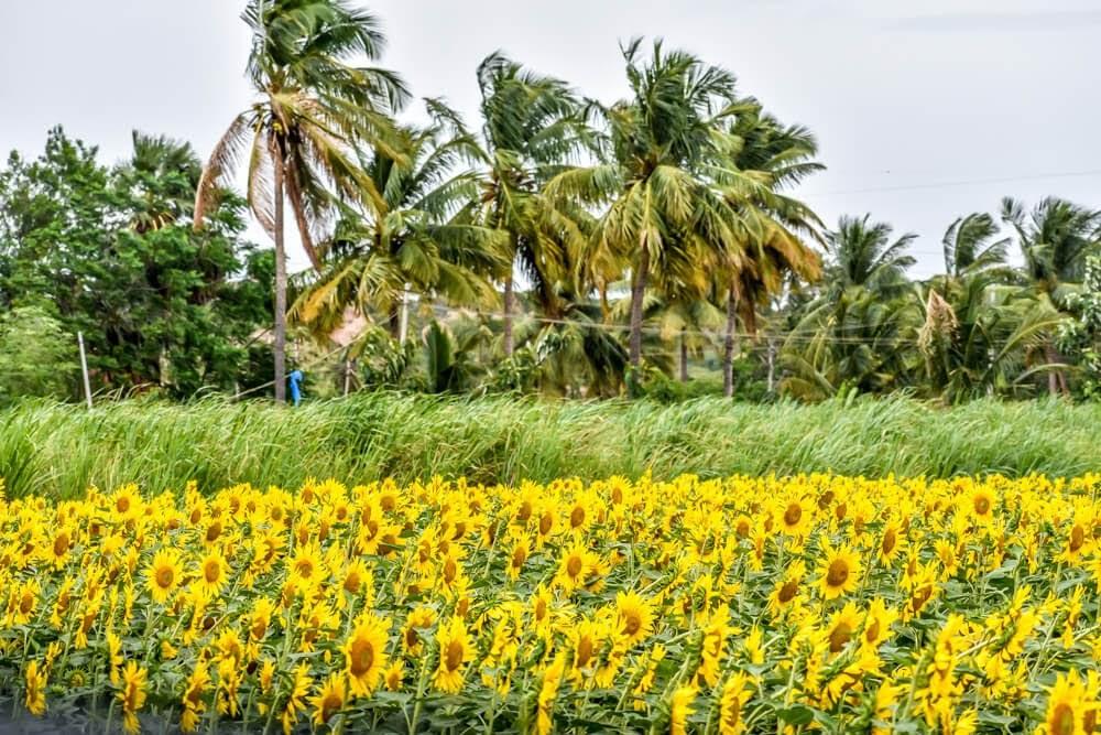 sunflower+fields+hampi+india