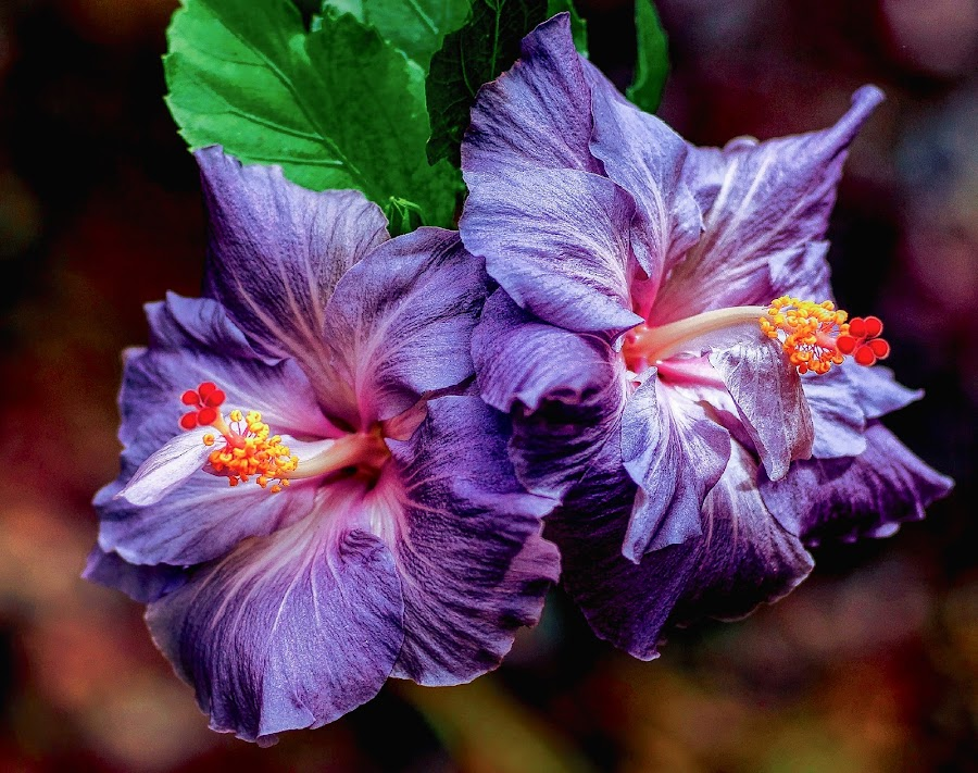 Blue Hibiscus by Jim Downey - Flowers Flowers in the Wild ( red, green, blue, hibiscus, yellow )