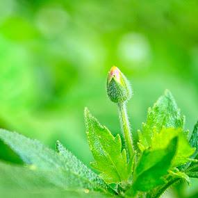 Mencungul by Fidan Luthfullahi - Flowers Single Flower ( single, flowers, green, garden, flower,  )