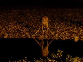 Photo: Etoschapark, Giraffe am Wasserloch