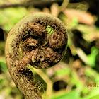Monkey Tail fern