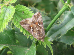 Photo: 24 Jul 13 Priorslee Lake: This is a 'plan view' of a Silver Y moth. This is a migrant moth that reaches the UK in good numbers most years. (Ed Wilson)