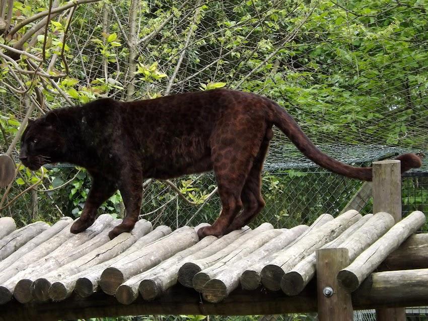 Panthère noire, la Boissière du Doré - Tous droits réservés