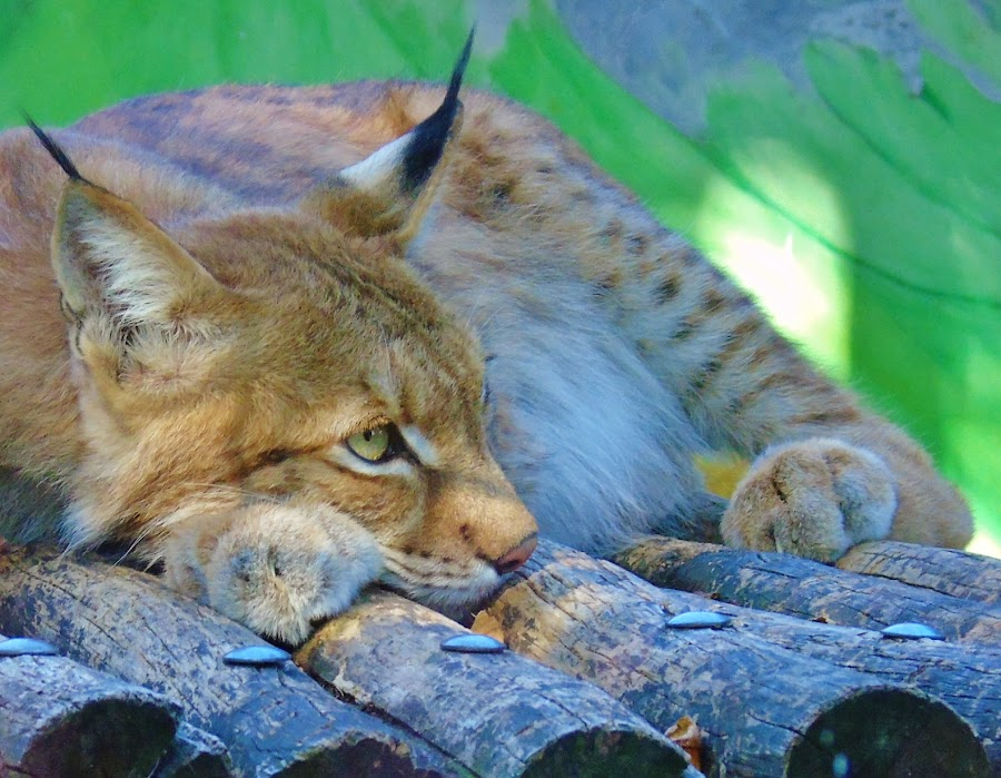 LYNX by Wojtylak Maria - Animals Lions, Tigers & Big Cats ( wild cat, resting, zoo, lynx, animal,  )