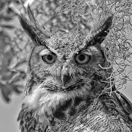 Great Horned Owl Female by Anthony Goldman - Black & White Animals ( b&w, predator, owl, nature, florida, bird, great horned, animal, safety harbor, female, wild, wildlife,  )