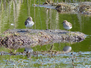 Photo: Least Sandpipers: