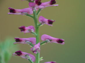 Photo: Fumaria officinalis
