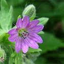 Dovesfoot Geranium