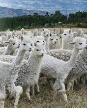 Photo: Alpacas from the INGA alpaca farm.