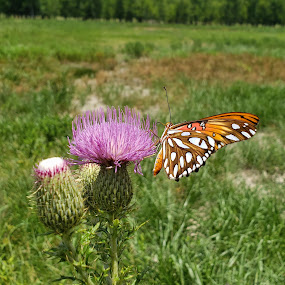 Gulf Fritillary on Texas Thistle 2 by Colin Toone - Instagram & Mobile Android ( orange, butterfly, purple, texas, flower )