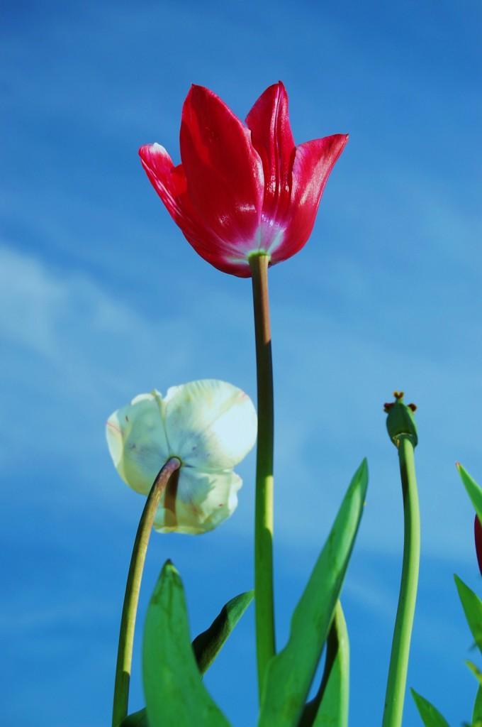 Tulipani... di Sguincio