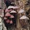 Stump fairy helmet mushrooms