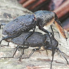 Bearded Weevil mating and courtship)