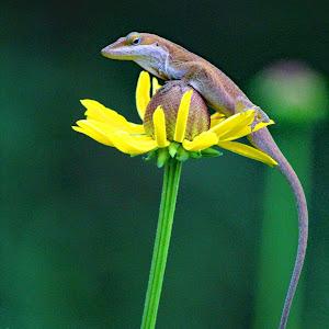 lizard on flower.jpg