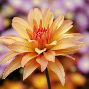 Yellow/red dahlia by Jim Downey - Flowers Single Flower ( red, orange, dahlia, yellow, purple )