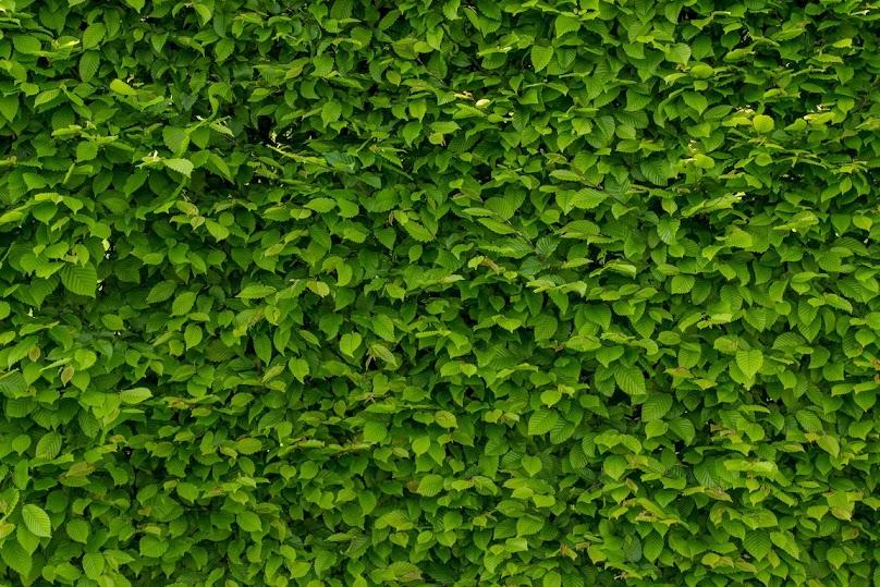 Żywopłot liściasty