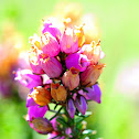 Bell heather; Brezo ceniciento