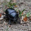Dor beetle