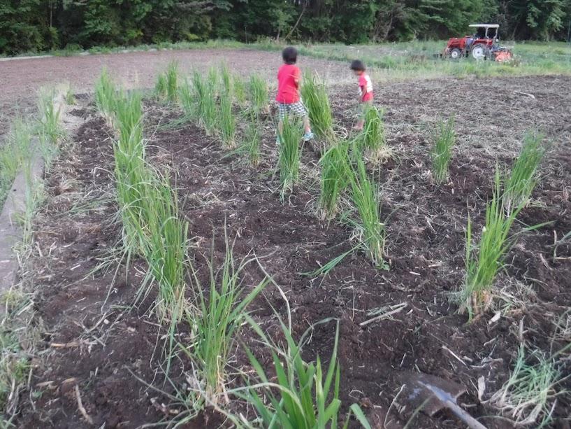 学校が終わった長男が少し植えるのを手伝ってくれました
