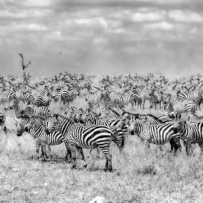 Zebras in Serengeti by Pravine Chester - Black & White Animals ( animals, monochrome, black and white, wildlife, tanzania, zebras,  )