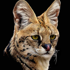 Serval, Savanna Portrait4 final.jpg