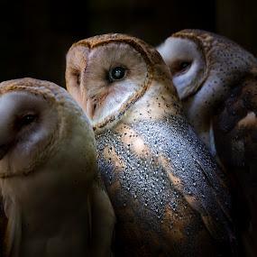 Three of a Kind by Heather Allen - Animals Birds (  )