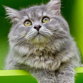 cute cat by Ronald Wahyudi - Animals - Cats Portraits