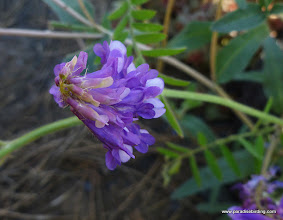 Photo: Some kind of vetch or wild pea (Vicia sp). Rooster Rock Burn.