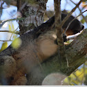 Sherman' Fox Squirrel