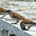 (Northern) Grey-headed Sparrow