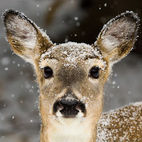 White Tailed Deer in a Snowstorm by Chris Greenwood - Animals Other Mammals ( winter, canada, snow, deer, animal )