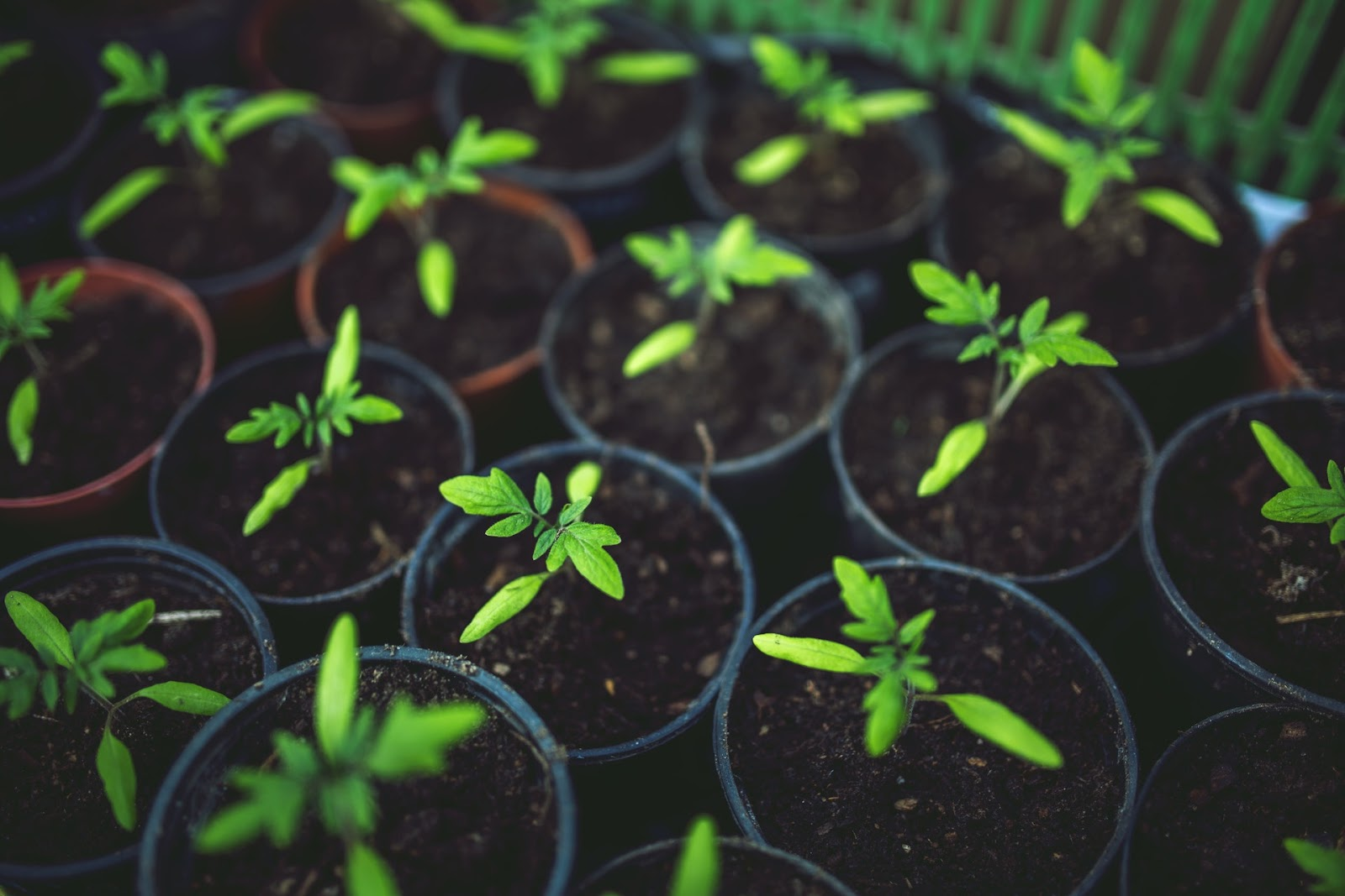 Small green seedlings growing in plant pots.