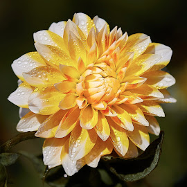 Dahlia 8546~ by Raphael RaCcoon - Flowers Single Flower