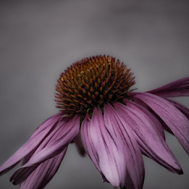 Pink Laying Down by Janice Mcgregor - Flowers Single Flower ( wild flower, wild, single, nature, petals, pink, cone, outside, flower photography, flower, soft,  )