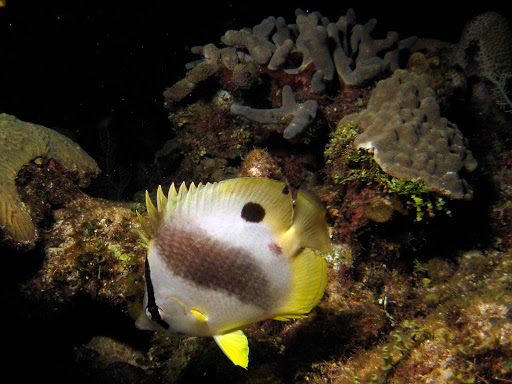A tropical fish on Roatan, captured with a Canon PowerShot SD1000 camera.