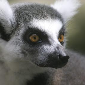 lemur bandit by Logan Williams - Animals Other Mammals ( lemur, zoo animal, animal, zoo, cute,  )