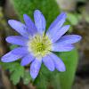 Grecian windflower