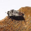 Mini Buprestid Beetle
