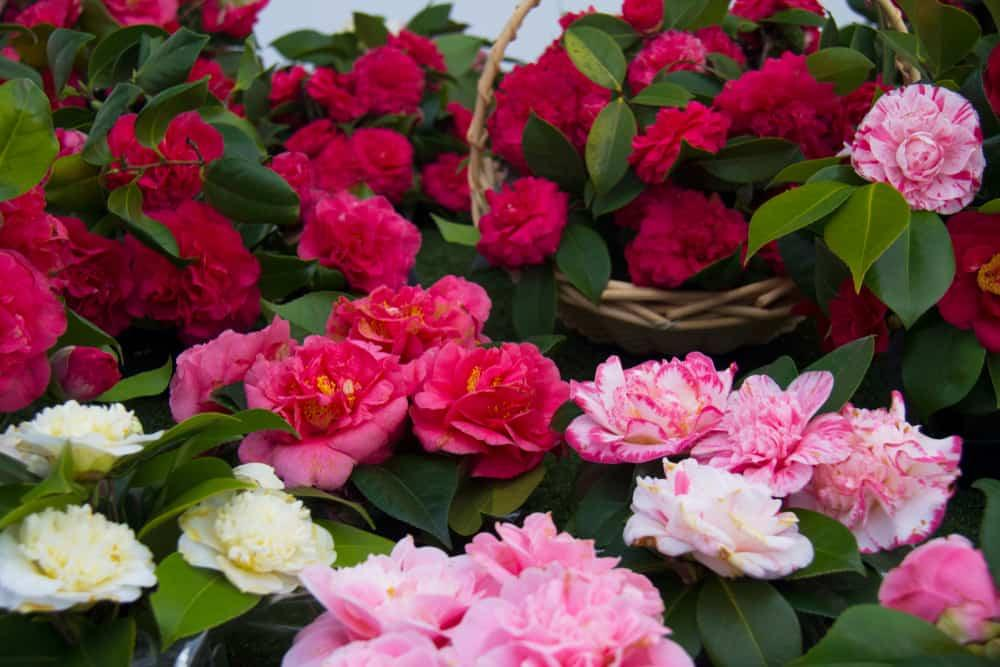 Camellias of assorted colors.