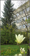 Photo: Conifer, in spatele unei magnolii tinere -  Piata 1 Decembrie 1918, spatiu verde - 2018.04.17