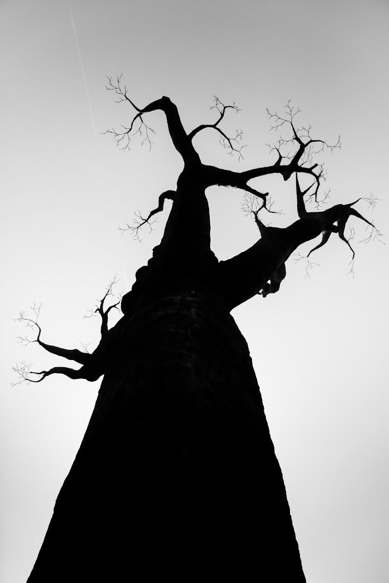 Baobab di danilomateraphotography