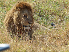 Photo: We were in rutting season, so saw male lions with prides more than usual.
