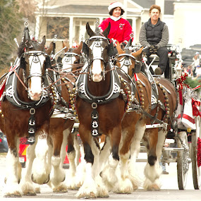 Christmas Clydesdales by Jenny Gandert - Public Holidays Christmas
