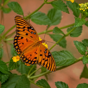 Last Of Summer by Roy Walter - Animals Insects & Spiders ( orange, butterfly, insect, garden, animal )