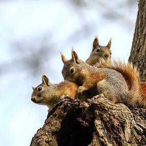 Sincaplar by Veli Toluay - Animals Other Mammals ( ağaç, sincaplar, sincap, sevimliler, memeliler, afacanlar,  )