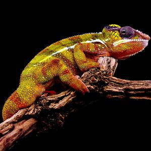 Chameleon 002.jpg