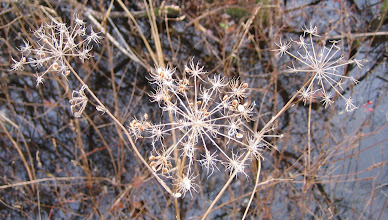 Photo: Poison Hemlock seed heads, 11.8